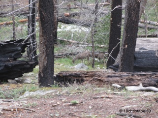 Deer Mariposa Grove