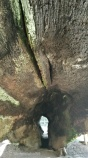 Fallen Tree Log