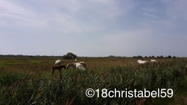 Wildpferde der Camargue