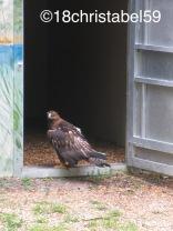 Adler Judy. Sie verlor ihren rechten Flug durch eine Schussverletzung