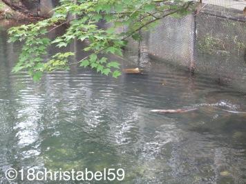 Fischotter beim Rückentauchen